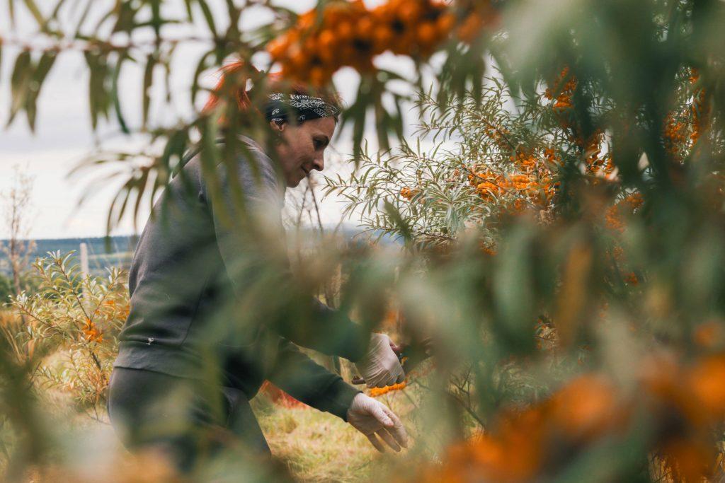 Pestovanie rakytníka na Orave pre značku Bobule