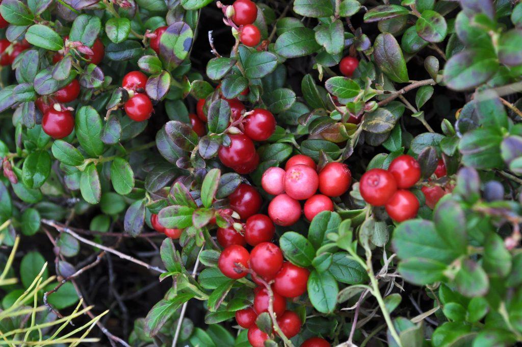 Ako pestovať brusnice, vhodná pôda a miesto pre pestovanie brusníc